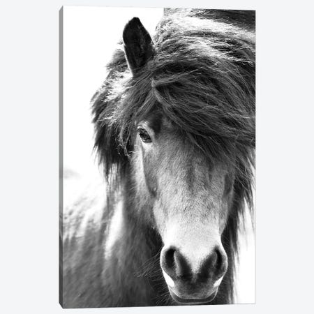 Iceland Horse Blastur Canvas Print #GEL191} by Monika Strigel Canvas Art Print