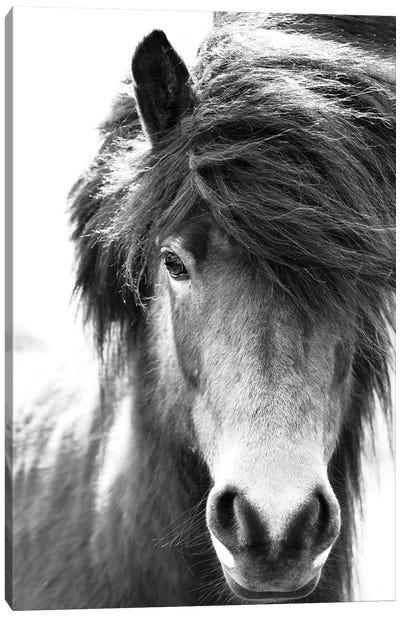 Iceland Horse Blastur Canvas Art Print