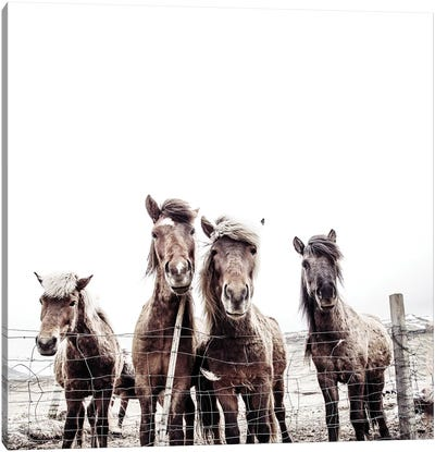 Iceland Horses Faxi And Fifi Square Canvas Art Print