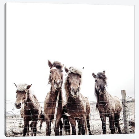 Iceland Horses Faxi And Fifi Square Canvas Print #GEL195} by Monika Strigel Canvas Artwork