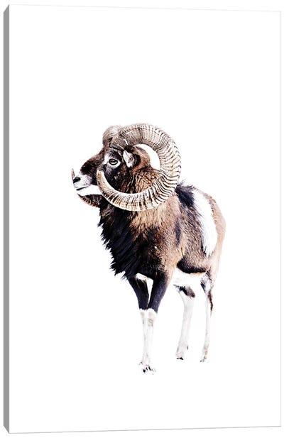 Mouflon Ram White Canvas Art Print
