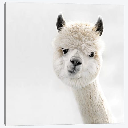 Peeky Alpaca Square Canvas Print #GEL239} by Monika Strigel Canvas Art