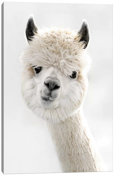 Peeky Alpaca Canvas Art Print