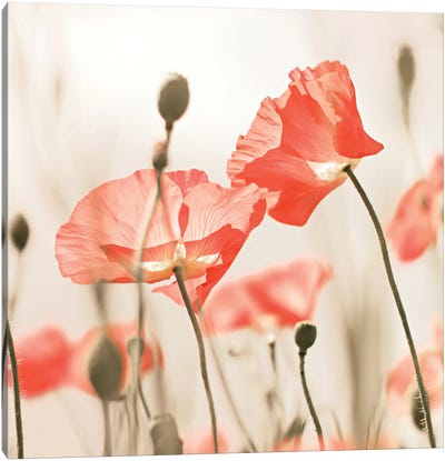 Poppy Flowers Peach Square Canvas Art Print