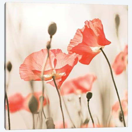 Poppy Flowers Peach Square Canvas Print #GEL241} by Monika Strigel Canvas Art Print
