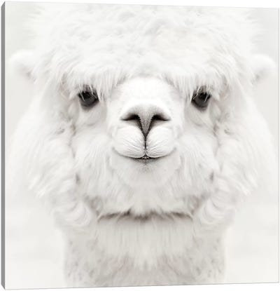 Smiling Alpaca Square Canvas Art Print