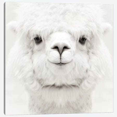Smiling Alpaca Square Canvas Print #GEL273} by Monika Strigel Canvas Artwork