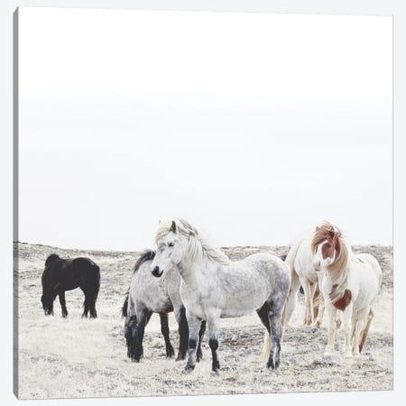 Wild And Free Horses Of Iceland I Square Canvas Print #GEL312} by Monika Strigel Art Print