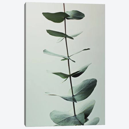 Eucalyptus Greenery Canvas Print #GEL49} by Monika Strigel Canvas Print