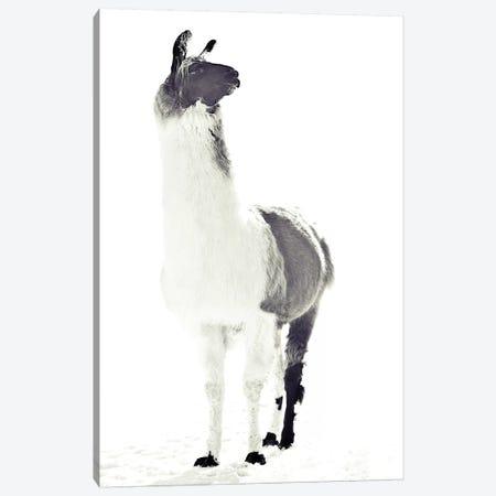 Fluffy Llama Canvas Print #GEL51} by Monika Strigel Canvas Art