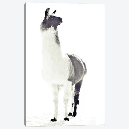 Fluffy Llama Canvas Print #GEL51} by Monika Strigel Canvas Art