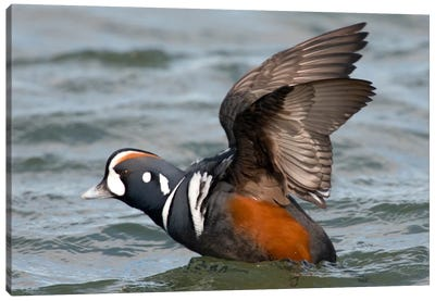 Harlequin Duck Male Taking Flight, Barnegat Light, New Jersey Canvas Art Print