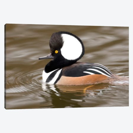 Hooded Merganser Male, Kellogg Bird Sanctuary, Michigan Canvas Print #GET11} by Steve Gettle Canvas Wall Art