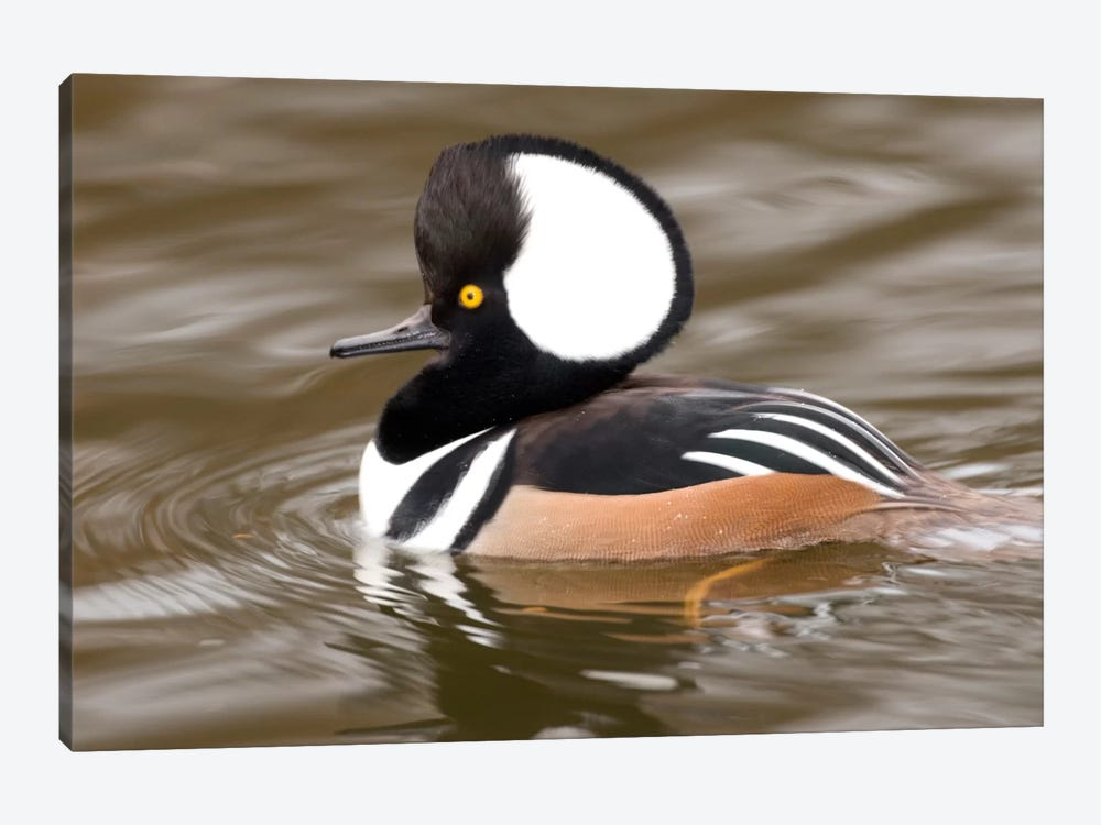 Hooded Merganser Male, Kellogg Bird Sanctuary, Michigan by Steve Gettle 1-piece Canvas Art Print