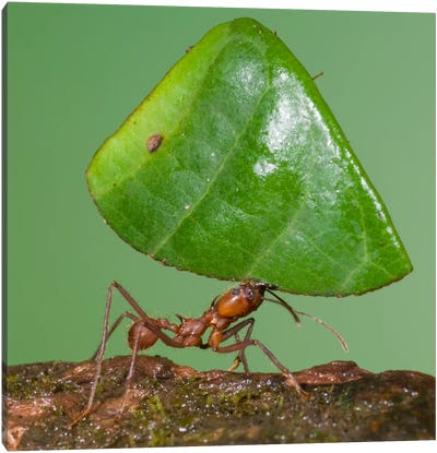 Leafcutter Ant Carrying Leaf, Costa Rica I Canvas Art Print