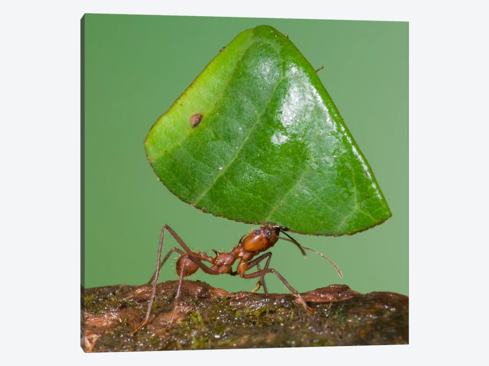 Leafcutter Ant Carrying Leaf, Costa Rica I by Steve Gettle 1-piece Canvas Artwork