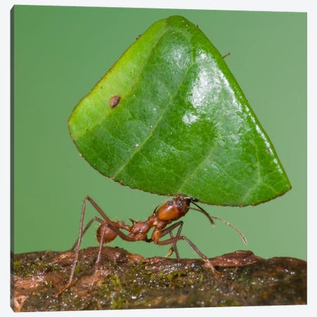 Leafcutter Ant Carrying Leaf, Costa Rica I Canvas Print #GET12} by Steve Gettle Canvas Artwork