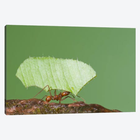 Leafcutter Ant Carrying Leaf, Costa Rica II Canvas Print #GET13} by Steve Gettle Canvas Wall Art