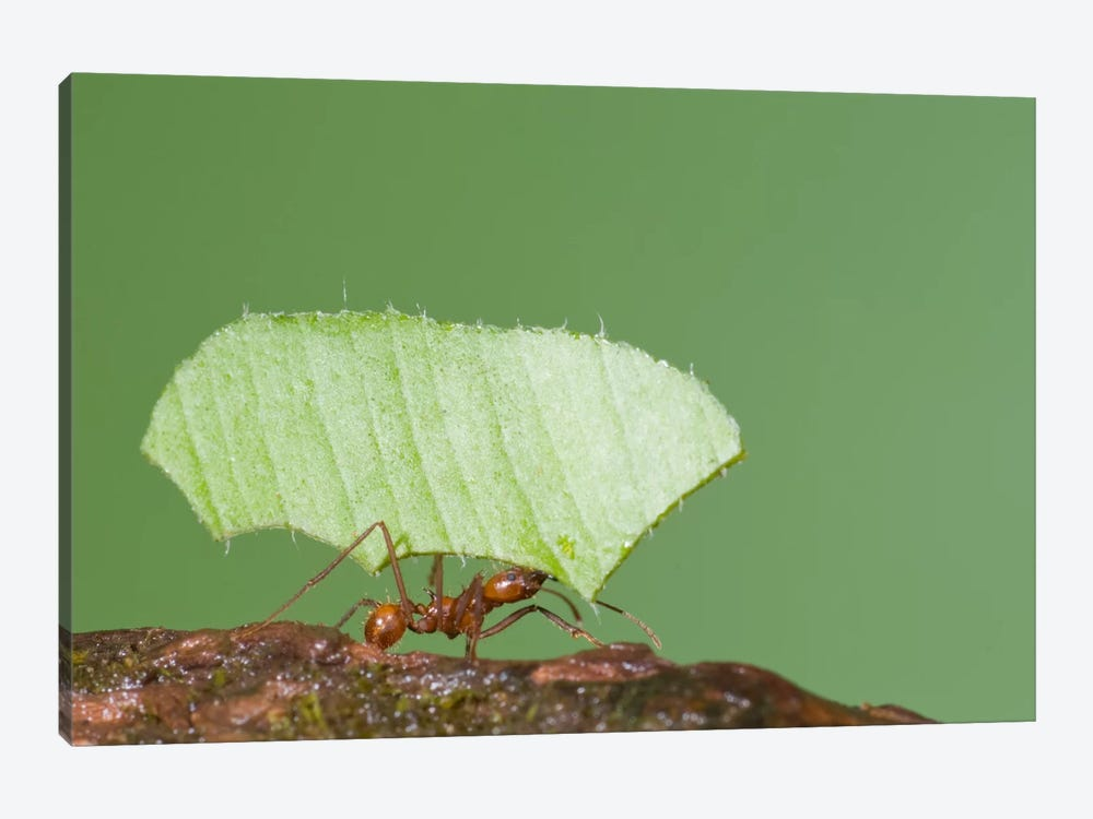 Leafcutter Ant Carrying Leaf, Costa Rica II by Steve Gettle 1-piece Art Print