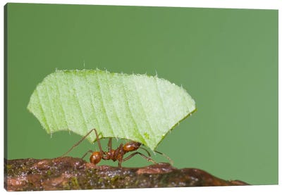 Leafcutter Ant Carrying Leaf, Costa Rica II Canvas Art Print