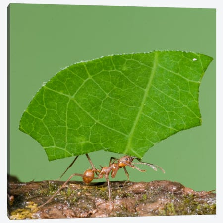 Leafcutter Ant Carrying Leaf, Costa Rica III Canvas Print #GET14} by Steve Gettle Canvas Print