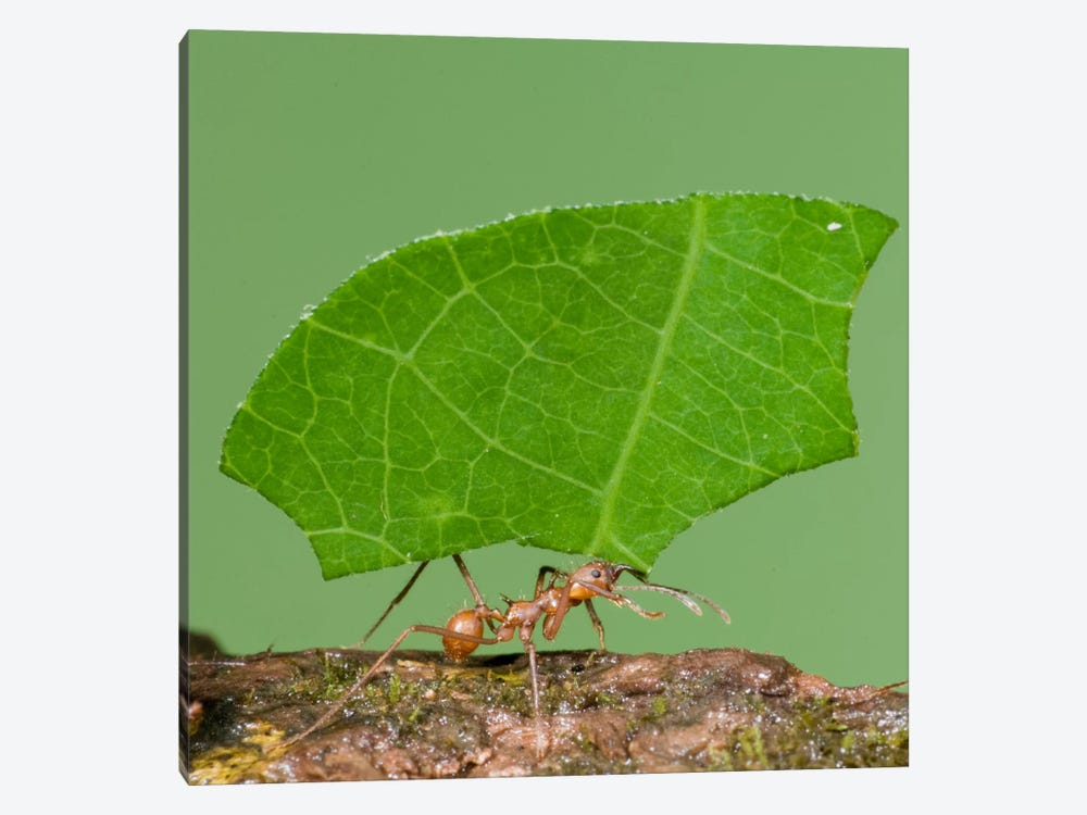 Leafcutter Ant Carrying Leaf, Costa Rica III by Steve Gettle 1-piece Canvas Artwork