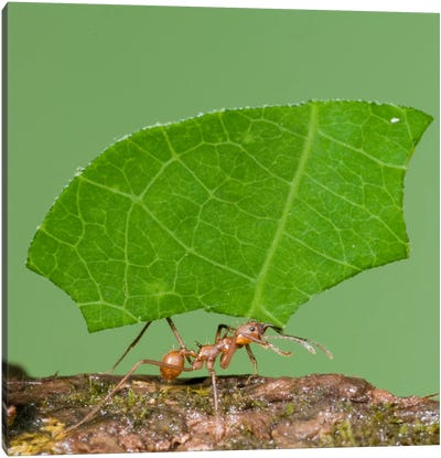 Leafcutter Ant Carrying Leaf, Costa Rica III Canvas Art Print