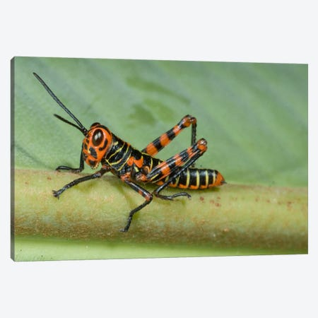 Lubber Grasshopper Juvenile, Costa Rica Canvas Print #GET15} by Steve Gettle Art Print