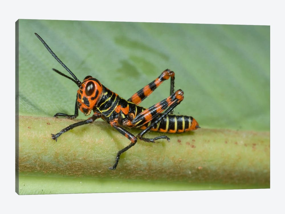 Lubber Grasshopper Juvenile, Costa Rica 1-piece Canvas Art Print