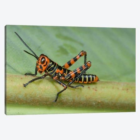 Lubber Grasshopper Juvenile, Costa Rica Canvas Print #GET15} by Steve Gettle Art Print
