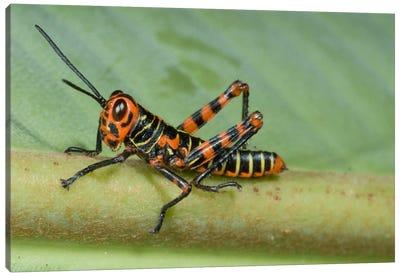 Lubber Grasshopper Juvenile, Costa Rica Canvas Art Print