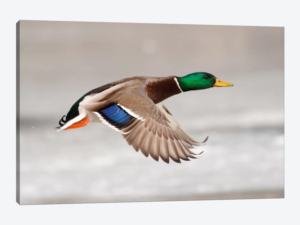 Mallard Male Flying Showing Speculum Feathers On Wing, Belle Isle Park, Michigan by Steve Gettle 1-piece Canvas Artwork
