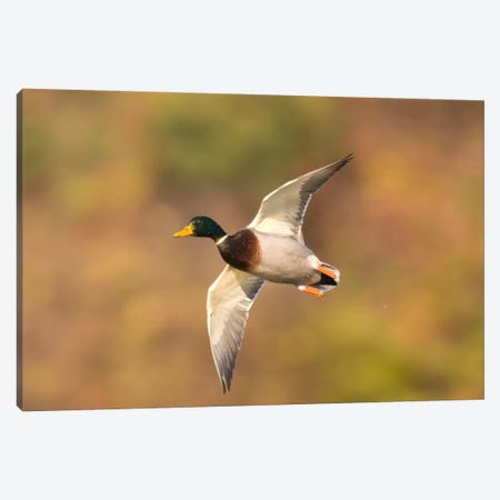 Mallard Male Flying, Kellogg Bird Sanctuary, Michigan Canvas Print #GET17} by Steve Gettle Canvas Art Print