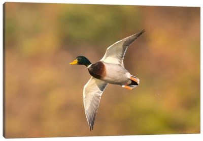Mallard Male Flying, Kellogg Bird Sanctuary, Michigan Canvas Art Print