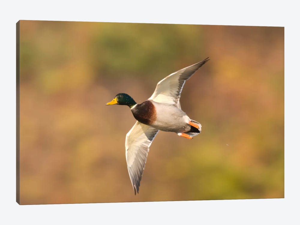 Mallard Male Flying, Kellogg Bird Sanctuary, Michigan by Steve Gettle 1-piece Canvas Art Print