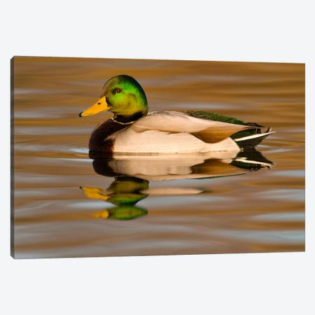 Mallard Swimming, Kellogg Bird Sanctuary, Michigan Canvas Print #GET18} by Steve Gettle Canvas Artwork