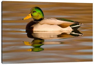 Mallard Swimming, Kellogg Bird Sanctuary, Michigan Canvas Art Print