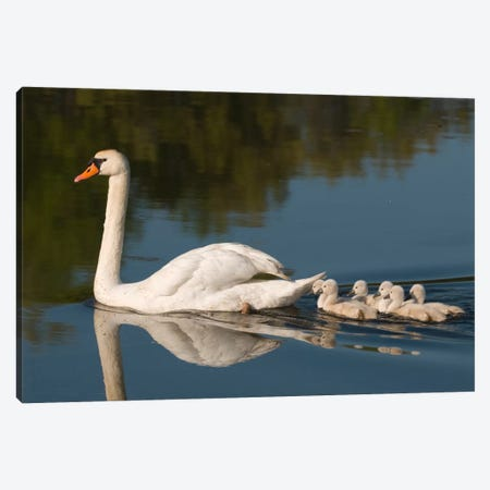 Mute Swan With Cygnets, Kensington Metropark, Milford, Michigan Canvas Print #GET19} by Steve Gettle Canvas Art