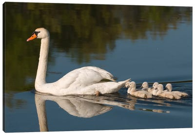 Mute Swan With Cygnets, Kensington Metropark, Milford, Michigan Canvas Art Print