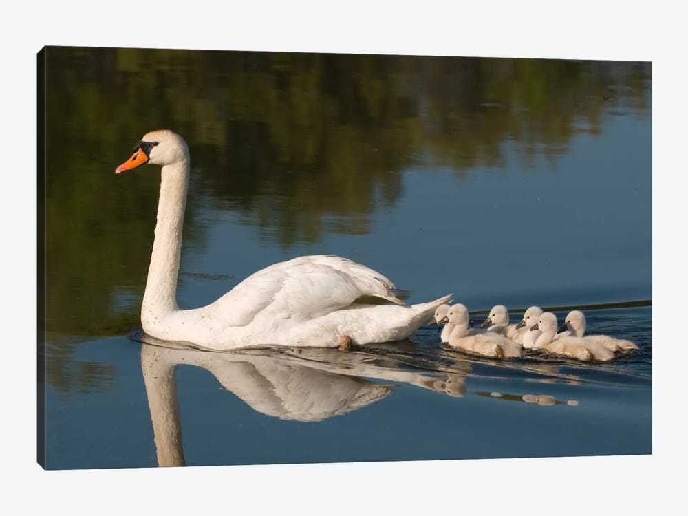 Mute Swan With Cygnets, Kensington Metropark, Milford, Michigan by Steve Gettle 1-piece Canvas Print