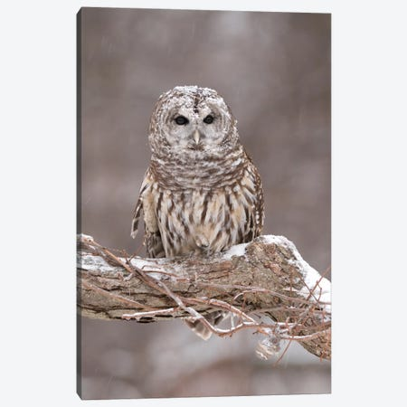 Barred Owl In Winter, Howell Nature Center, Michigan Canvas Print #GET1} by Steve Gettle Canvas Artwork