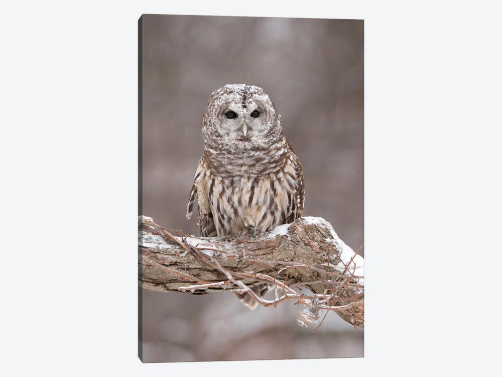 Barred Owl In Winter, Howell Nature Center, Michigan by Steve Gettle 1-piece Canvas Wall Art