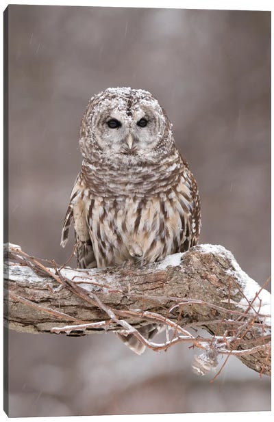 Barred Owl In Winter, Howell Nature Center, Michigan Canvas Art Print