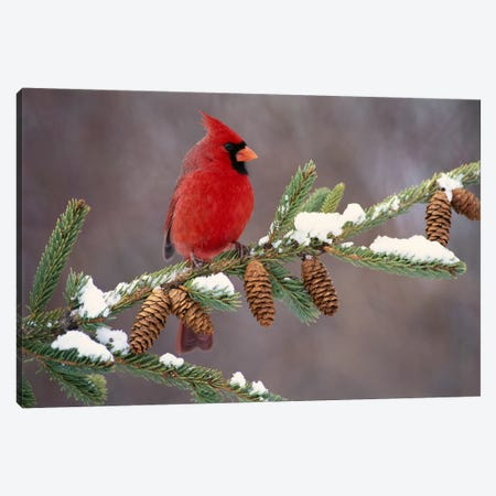 Northern Cardinal Male, South Lyon, Michigan Canvas Print #GET20} by Steve Gettle Canvas Print