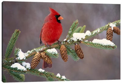Northern Cardinal Male, South Lyon, Michigan Canvas Art Print