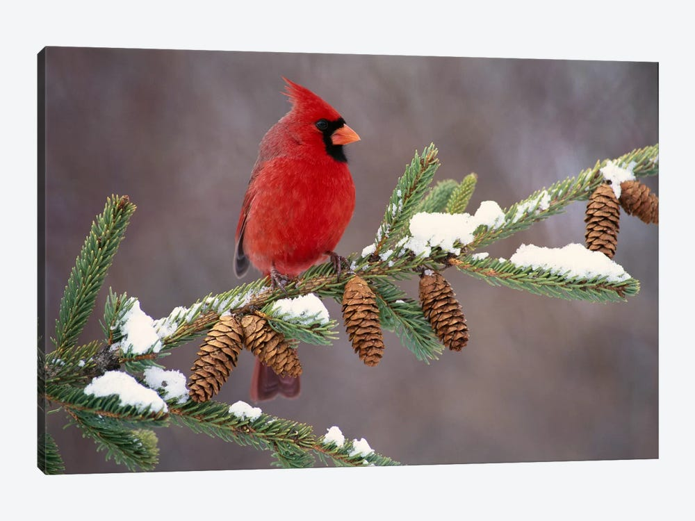 Northern Cardinal Male, South Lyon, Michigan by Steve Gettle 1-piece Art Print