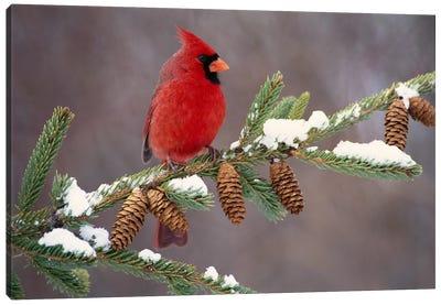 Northern Cardinal Male, South Lyon, Michigan Canvas Art Print