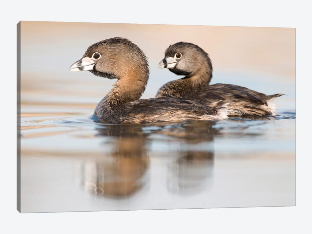 Pied-Billed Grebe Pair In Breeding Plumage, Island Lake Recreation Area, Michigan by Steve Gettle 1-piece Canvas Art