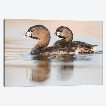 Pied-Billed Grebe Pair In Breeding Plumage, Island Lake Recreation Area, Michigan Canvas Print #GET21} by Steve Gettle Canvas Art Print