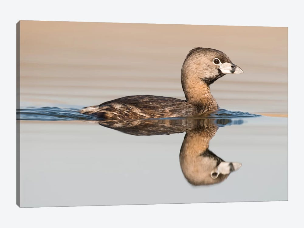 Pied-Billed Grebe Swimming, Island Lake Recreation Area, Michigan by Steve Gettle 1-piece Art Print